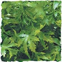 Zoomed - Plante Cannabis pour Terrarium