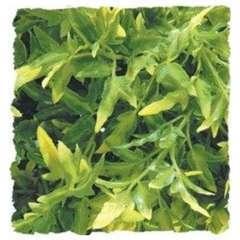 Zoomed - Plante Bolivian pour Terrarium