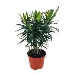 Nerium Oleander ou Laurier-Rose : C.2.5L