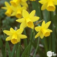 Narcisse + Primevere: Jardinière 40 cm - Coloris variables