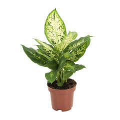 Dieffenbachia Compacta : Hauteur 40 cm
