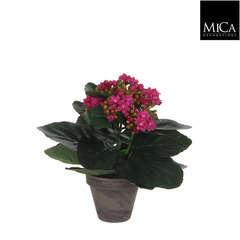 Kalanchoe en pot basalte Ø 9 cm, violet H. 22 cm