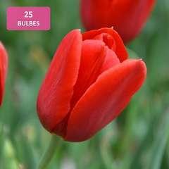 Bulbes de tulipes rouges - x25