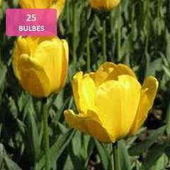 Bulbes de tulipes jaunes - x25