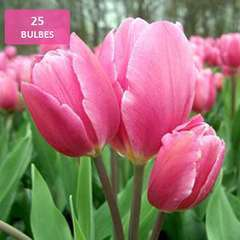 Bulbes de tulipes rose - x25
