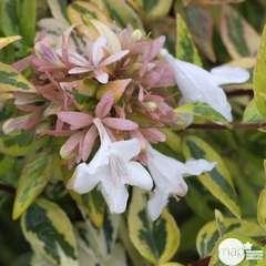 Abelia x grandiflora 'Kaléidoscope'® : Conteneur de 4,5 litres
