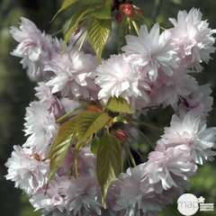 Prunus serrula x serrulata  : H 125/150 ctr 7,5 litres