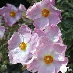 Cistus x argenteus ' Silver Pink ' : ctr 3 litres