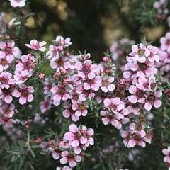 Leptospermum scoparium: conteneur 7 litres