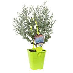 Eucalyptus gunnii Azura ' Cagire' : conteneur 4 litres