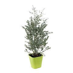Eucalyptus gunnii Azura ' Cagire' : conteneur 8 litres