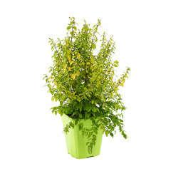 Ligustrum sinensis ' Lemon and LimeTM ' : ctr 4 litres
