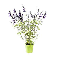 Salvia hybride Amistad 'c.o.v. ':ctr 4 litres
