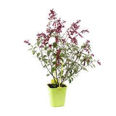 Salvia hybride Wendy's Wish 'c.o.v. ':ctr 4 litres