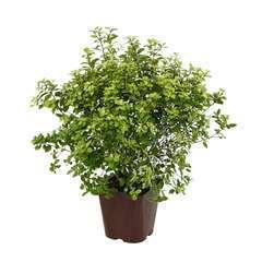 Pittosporum tenuifolium 'Golf Ball' : conteneur 3 litres