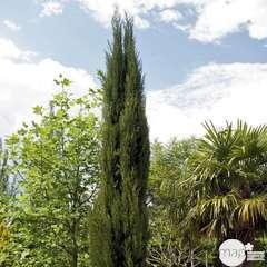 Cupressus Sempervirens Stricta :  H.100/125 cm, conteneur 10L