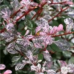 Berberis Thunbergii Rosy Glow C 4L.