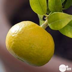 Mandarinier Chinois : ctr 3 litres, Agriculture Biologique