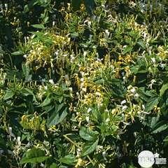 Lonicera similis var.delavayi: conteneur 3 litres