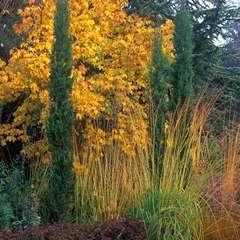 Cupressus sempervirens 'Totem' :H. 100/110 cm pot 10 L