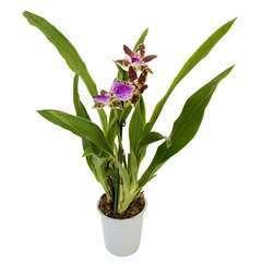 Orchidée Zygopetalum 1 tige - pot D.12 cm