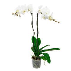 Orchidée Phalaeonopsis 'Tsarine' 2 tiges - pot D.15 cm