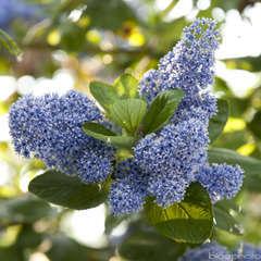 Ceanothus arboreus ' Trewithen Blue': conteneur 3 litres