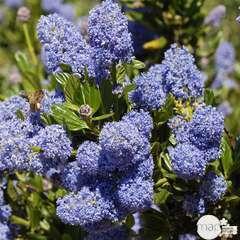 Ceanothus Victoria : C4L (bleu profond)
