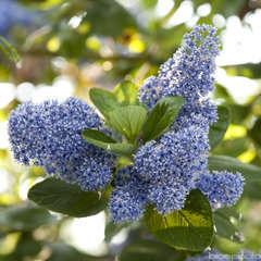 Ceanothus arboreus ' Trewithen Blue': conteneur 7L (bleu intense)