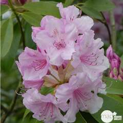 Rhododendron x 'Pink Perfection':H 40/50 cm conteneur 7 litres