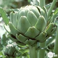 Plant d'artichaut vert 'Imperial Star' F1 : pot de 1 litre
