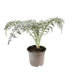 Plant d'artichaut violet 'Olympus' F1 : pot de 2,5 litres