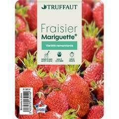 Plants de fraisiers 'Mariguette' : barquette de 6 plants