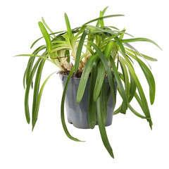 Agapanthus hybride collection:conteneur 4 litres