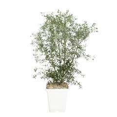 Eucalyptus gunnii 'France Bleu' ® : conteneur 10 litres