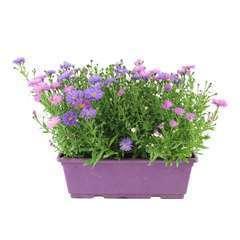 Aster fleuri : Jardinière 40 cm - Coloris variables