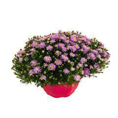 Aster fleuri : coupe Teku d.25cm - Coloris variable