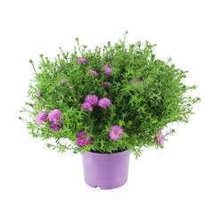 Aster fleuri : conteneur 3 Litres - Coloris variables