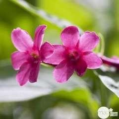 Jasminum beesianum, pot 3 litres