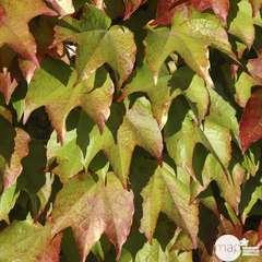 Parthenocissus Veitchii Robusta : ctr de 3 litres
