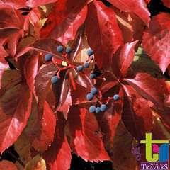 Parthenocissus quinquefolia 'Red Wall'® :conteneur 3 litres