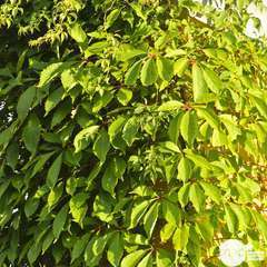 Parthenocissus quinquefolia 'Yellow Wall'® :conteneur 3 litres