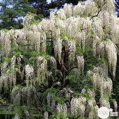 Wisteria floribunda Alba : ctr de 3 litres
