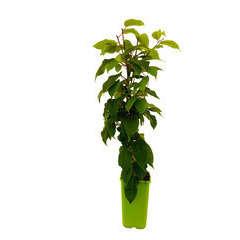 Kiwaï 'Nostino' mâle : pot de 1,5 litres