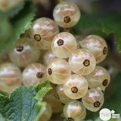 Groseillier à grappes 'Versaillaise blanche': pot de 5 litres