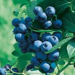 Myrtillier 'Blue Pearl' : pot de 5 litres