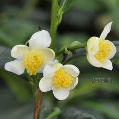 Camellia sinensis: conteneur 4 litres (rouge)