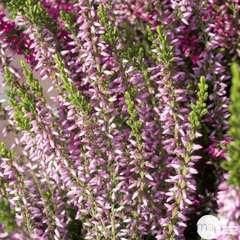 Calluna vulgaris 'Rosita':conteneur 1 litre