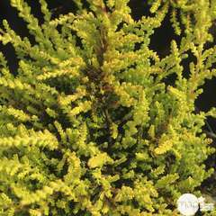 Calluna vulgaris 'Boskoop':conteneur 1 litre
