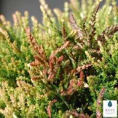 Calluna vulgaris 'Tricolorfolia':conteneur 1 litre